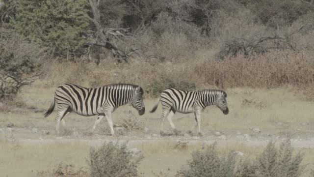 panning shot of zebras walking on land at national during sunny day - etosha national park, namibia - herbivorous stock videos & royalty-free footage