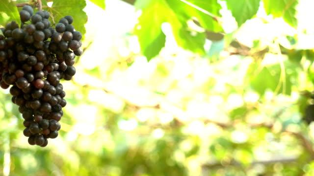 Panning shot: Red grapes In Vineyard