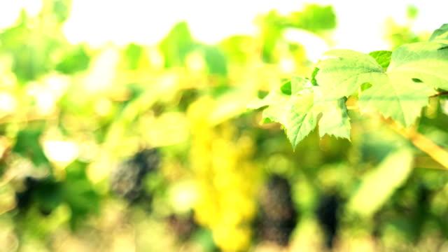 vídeos de stock e filmes b-roll de panning shot: red grapes in vineyard - ramo parte de uma planta