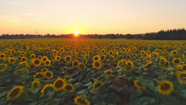 WS Panning shot sunflowers in idyllic,tranquil rural field at sunset,Slovenia