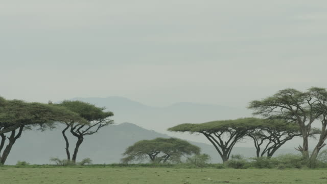 Panning shot to two eagles perched in an acacia tree, Tanzania.