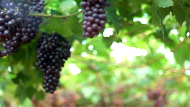 Panning shot:White Grapes In Vineyard