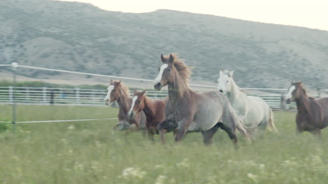 panning slow motion clip of a herd of thoroughbred quarter horse mares, stallions and colts running through a green field of tall grass in the summertime at dawn or dusk in the wild west of colorado - stallion stock videos & royalty-free footage