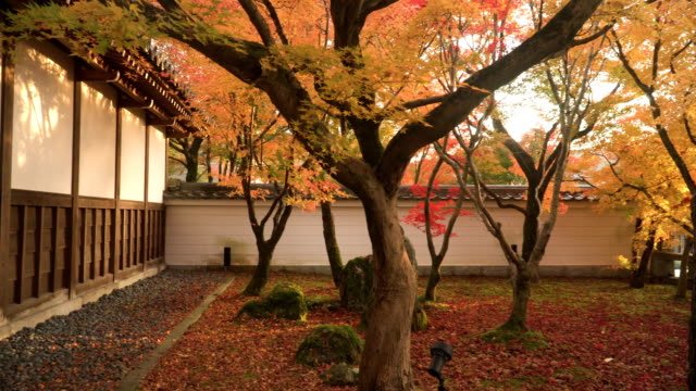 vídeos de stock e filmes b-roll de panning: small autumn leaf garden with japanese-styled wall - ácer