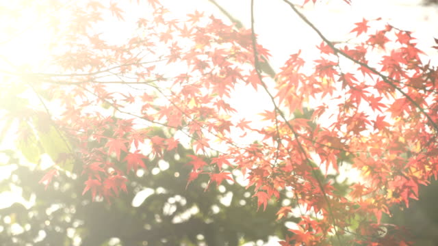 panning: sunlight pass through  the branch of vivid red maple leaf