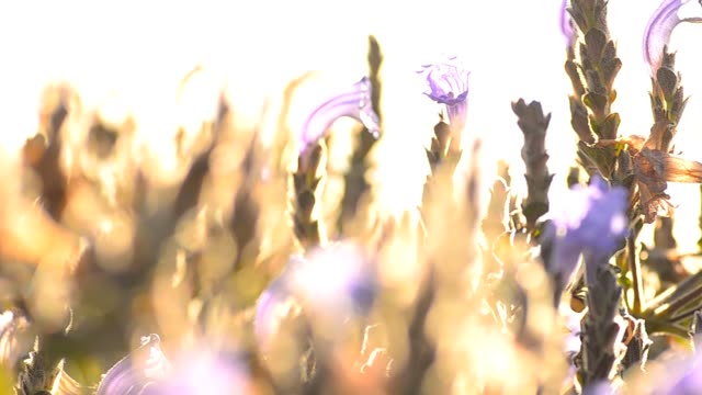 panning : Sunset on a initiated purple flower Field