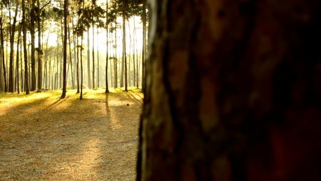 パン:松の森で太陽の日の出 - ネイチャーズウィンドウ点の映像素材/bロール