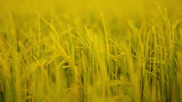 vídeos de stock e filmes b-roll de rolamento: parte superior de campo de arroz na cena urbana - lezíria