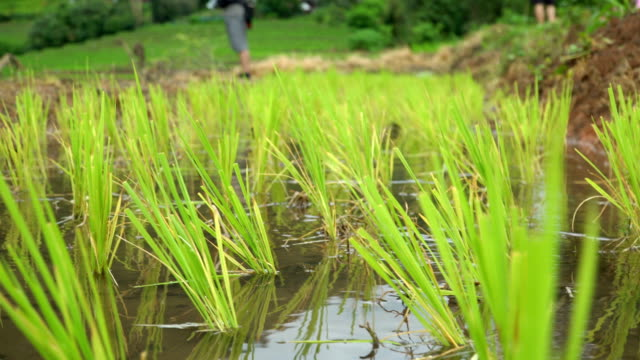 panning: transplanting rice cultivation with freshness water