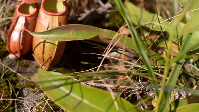 panning:  two nepenthes grow in overgrown area - carnivorous plant stock videos and b-roll footage