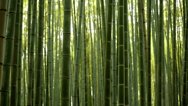 panning up through a bambo forest - bamboo plant stock videos and b-roll footage