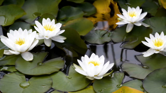 Panning video of white water lilies