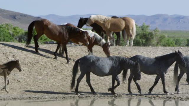 Panning view following horses walk around water hole