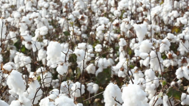 stockvideo's en b-roll-footage met panning view of cotton field - katoen