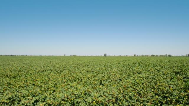 綿畑のパン図 - 新疆ウイグル自治区点の映像素材/bロール