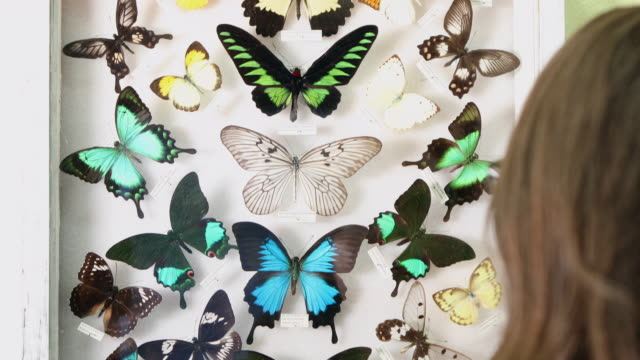panning view of person looking at butterfly collection - collection stock videos and b-roll footage