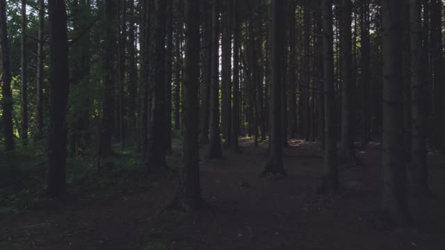 panning view of pine forest morning,Northern Ireland