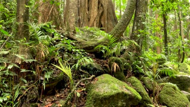 panning view of rainforest canopy in australian rainforest 4k - rainforest stock videos & royalty-free footage