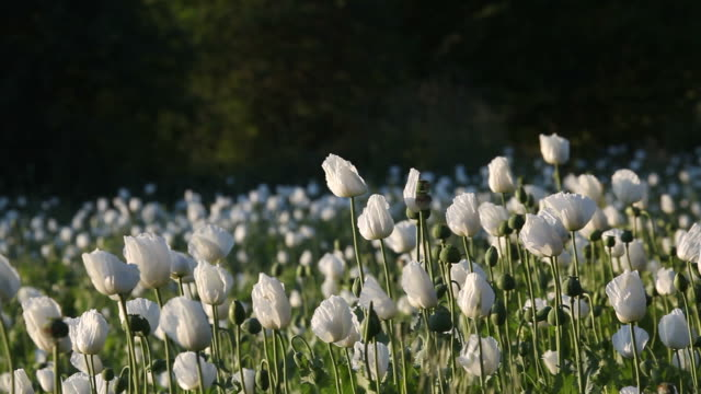 panning view of white opium poppy field in wind - selimaksan stock videos & royalty-free footage