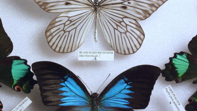 vídeos de stock e filmes b-roll de panning view over  butterfly collection display - coleção