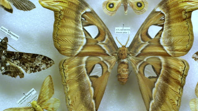 stockvideo's en b-roll-footage met panning view over moth collection display - verzameling