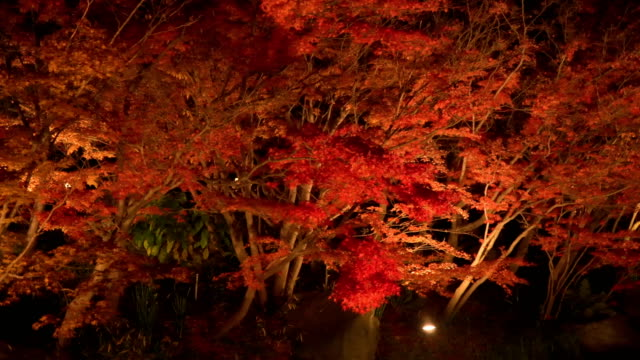 panning: vivid red maple leaf at night - maple leaf stock videos and b-roll footage