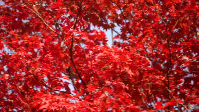 panning: vivid red maple leaves on blue sky - maple leaf stock videos and b-roll footage