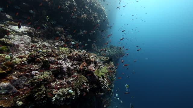 stockvideo's en b-roll-footage met a panning wide angle shot along a giant coral reef wall covered in fish, flores indonesia - flores indonesië