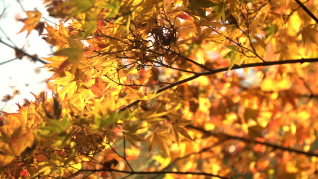 panning: yellow  maple leaves under sunlight - yellow stock videos & royalty-free footage