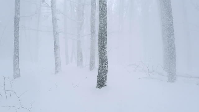 panorama in winter forest. snow falls from the tree branches. - powder snow stock videos & royalty-free footage
