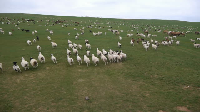 panorama of flock of sheep in mongolia - independent mongolia stock videos and b-roll footage