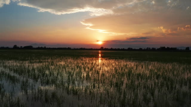 panoramic video landscape of a green field with rice at sunset - south stock videos & royalty-free footage
