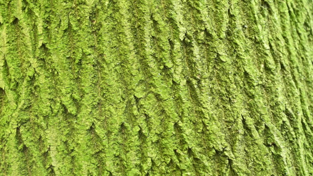 vídeos de stock e filmes b-roll de panoramic view in motion of almost a minute of of the bark of a tree, it is green by moisture to the north. germany, berlin. - casca de árvore