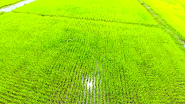 panoramablick auf natur landschaft ein grünes feld mit reis - tropischer baum stock-videos und b-roll-filmmaterial