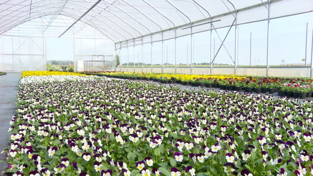 HD DOLLY: Pansies In The Greenhouse