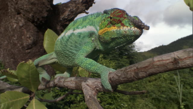vídeos de stock e filmes b-roll de panther chameleon (furcifer pardalis) clambers along branch, madagascar - animal em via de extinção