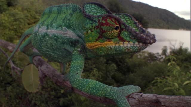 vidéos et rushes de panther chameleon (furcifer pardalis) clambers along branch, madagascar - caméléon
