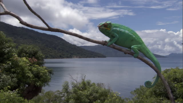 panther chameleon (furcifer pardalis) clings to branch, madagascar - limb body part stock videos & royalty-free footage