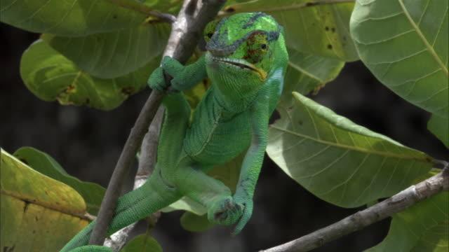 vidéos et rushes de panther chameleon (furcifer pardalis) clings to branch, madagascar - camouflage