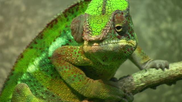 vidéos et rushes de cu, panther chameleon (furcifer pardalis), houston zoo, houston, texas, usa - camouflage