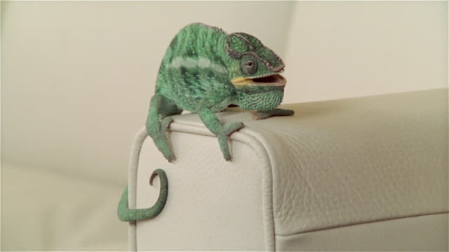 cu, panther chameleon sitting on edge of sofa - domestic animals stock videos & royalty-free footage