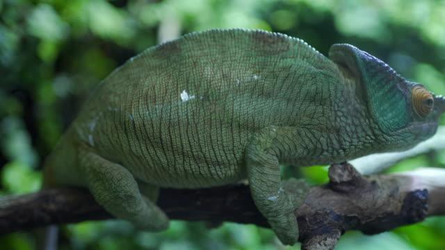 vídeos de stock, filmes e b-roll de camaleão pantera em pé em um galho de árvore - parte do corpo animal