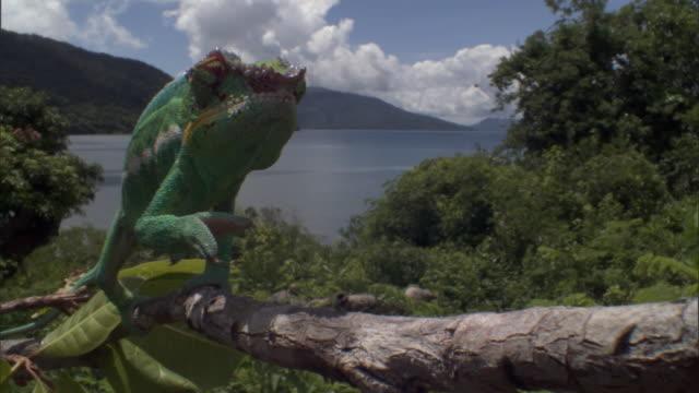 vidéos et rushes de panther chameleon (furcifer pardalis) sways along branch, madagascar - caméléon