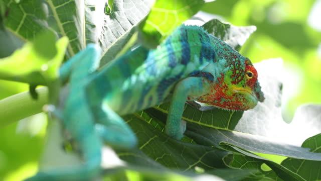 vidéos et rushes de panther chameleon - caméléon