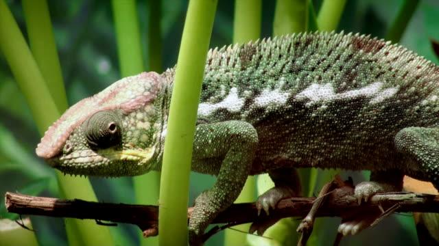 vidéos et rushes de caméléon panthère - caméléon
