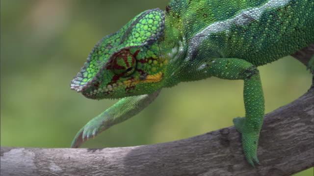 Panther chameleon (Furcifer pardalis) walks on branch, Madagascar