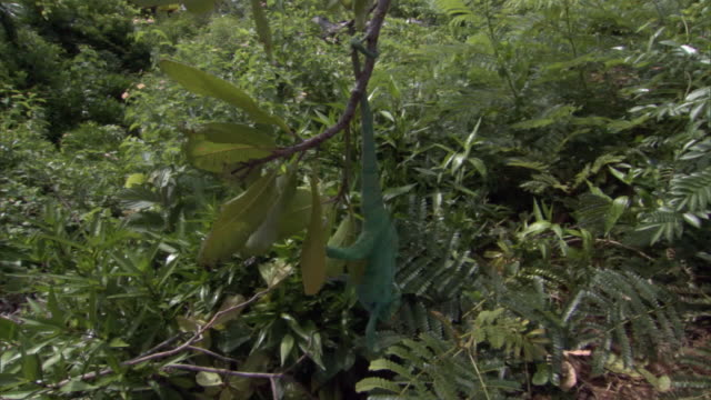 panther chameleon (furcifer pardalis) watches rival fall after fight on branch, madagascar - カメレオン点の映像素材/bロール