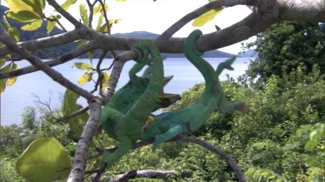 panther chameleons (furcifer pardalis) fight on branch, madagascar - slåss bildbanksvideor och videomaterial från bakom kulisserna