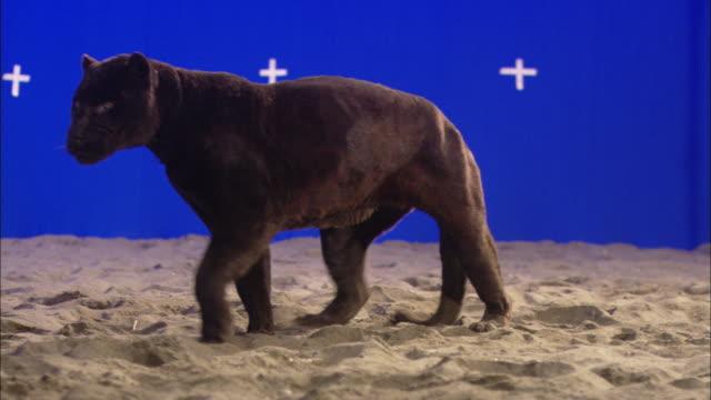 A panther finds a resting place in front of a blue screen.