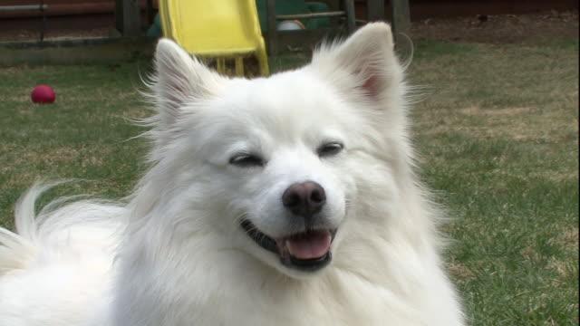 a panting american eskimo looks around its yard. - american eskimo dog stock videos & royalty-free footage